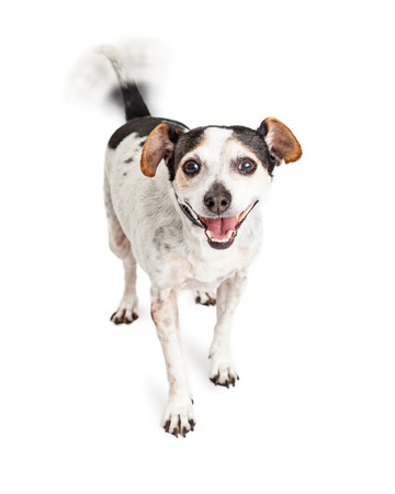 Foto de Cute little Jack Russell mixed breed dog with smiling happy expression and intentional motion blur on wagging tail - Imagen libre de derechos