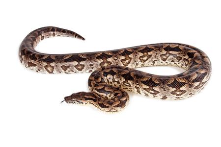 Foto de Beautiful Dumeril's Boa snake laying on a white background - Imagen libre de derechos
