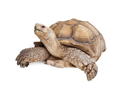 Photo for Giant Sulcata Tortoise crawling on white background looking up - Royalty Free Image