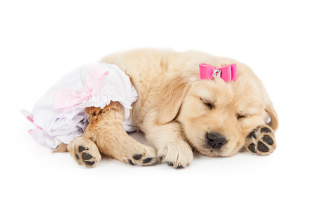 Photo for Funny photo of cute little Golden Retriever puppy dog wearing pink bow and diaper romper - Royalty Free Image