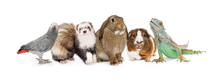 Row of five common small domestic pets sitting together over white - bird, ferret, bunny, guinea pig and iguana lizard