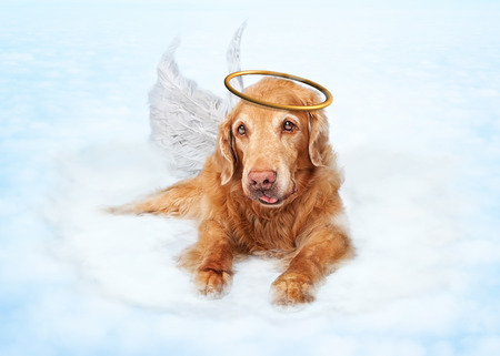 Photo for Old dog wearing angel wings and golden halo laying on clouds in heaven - Royalty Free Image