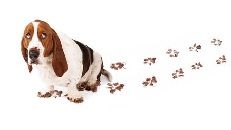 Photo for Dog with guilty expression and muddy paws tracks dirt on white floor - Royalty Free Image