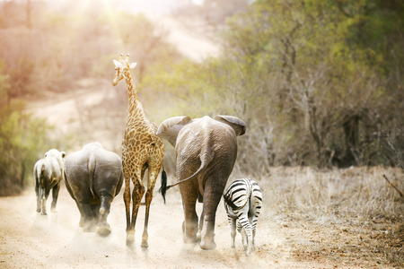 Photo for Group of unlikely South African safari animal friends walking away down a path together in Kruger National Park at sunrise. - Royalty Free Image