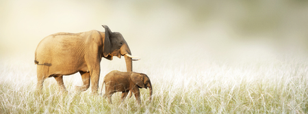 Photo pour Mother and baby African elephant walking together through tall grass in a dreamy scene. Horizontal banner with copy space - image libre de droit