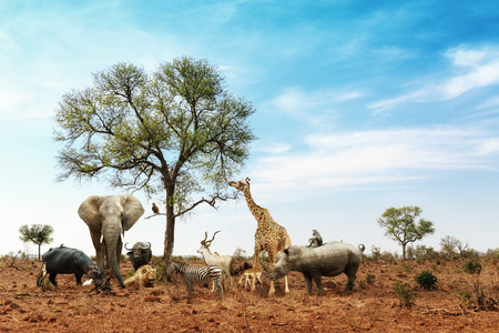 Photo pour Conceptual image of common African safari wildlife animals meeting together around a tree in Kruger National Park - image libre de droit