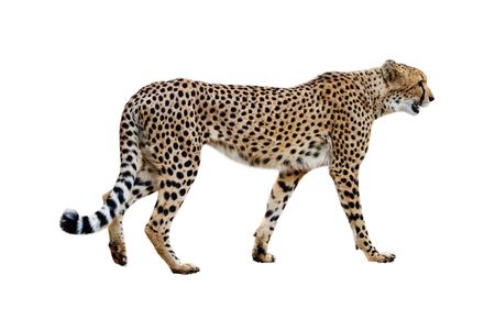 Photo pour Profile of African Cheetah walking. Isolated on white. - image libre de droit