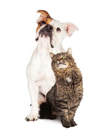 Foto de Adult Bulldog and tabby cat sitting together looking up over white background - Imagen libre de derechos