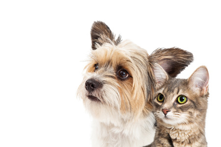 Photo for Closeup of mixed small breed dog and tabby cat looking up together over white with copy space - Royalty Free Image