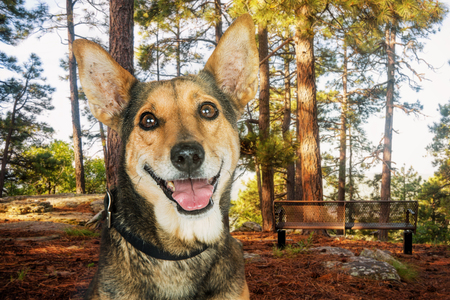 Photo pour Closeup photo of a happy mixed Shepherd breed dog in a park in the woods - image libre de droit