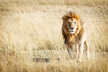 Photo pour Beautiful lion standing in the tall grass of the Masai Mara in Kenya, Africa with room for text - image libre de droit