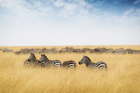 Photo pour Herd of zebra in Kenya, Africa with tall red oat grass and blue sky - image libre de droit