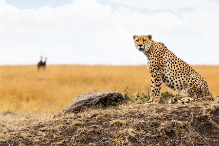 Photo pour Cheetah cat sitting on a hill in the Masai Mara in Kenya, Africa. Looking into camera with blurred gazelle in background. - image libre de droit
