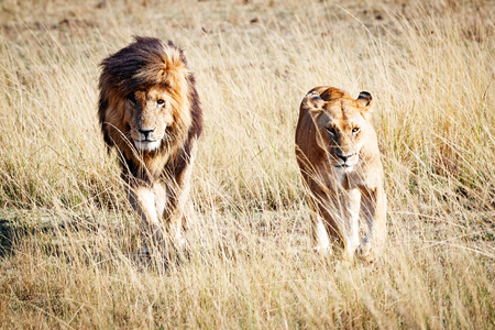 Photo pour Well-known African wild lion named Scarface and a lioness walking through the grasslands of Kenya, Africa - image libre de droit