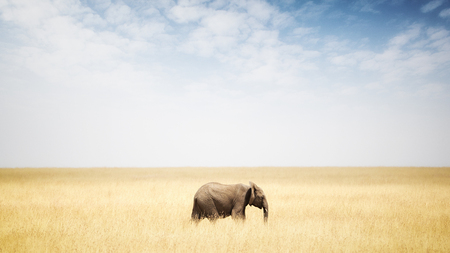 Photo pour One single elephant walking in tall grass in Kenya Africa with copy space in wide open sky - image libre de droit