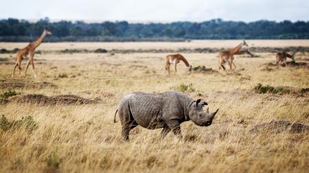 Foto de Critically endangered black rhinoceros walking in the grasslands of Kenya, Africa with Masai giraffe in the background - Imagen libre de derechos