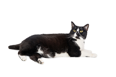 Photo pour Black and white tuxedo cat lying to side on white - image libre de droit