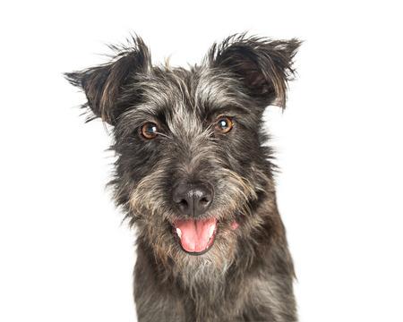 Photo pour Closeup portrait of scruffy grey color terrier dog with happy expression - image libre de droit