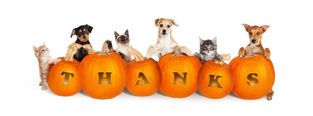 Foto de Row of cute puppies and kittens over six carved pumpkins with the word Thanks for Thanksgiving. Isolated on white and sized for a popular social media cover image. - Imagen libre de derechos