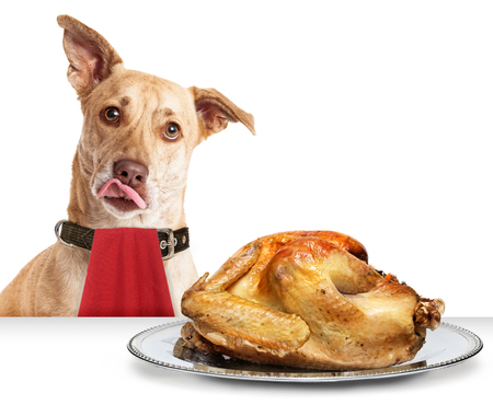 Photo pour Hungry dog in front of roasted Thanksgiving day turkey wearing red napkin with tongue out to lick lips - image libre de droit
