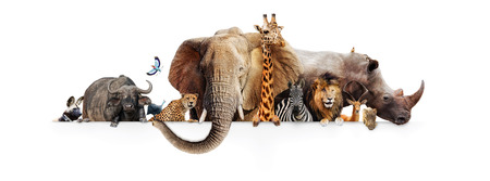 Foto de Row of African safari animals hanging their paws over a white banner. Image sized to fit a popular social media timeline photo placeholder - Imagen libre de derechos