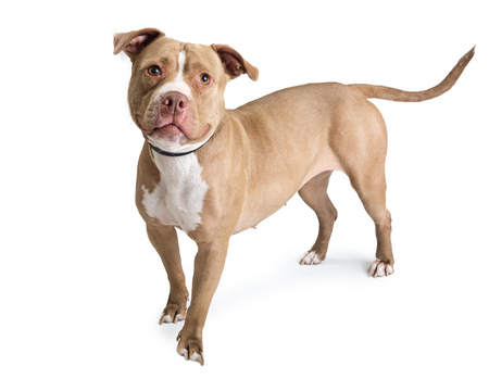 Photo pour Fawn color pit bull dog standing on white, looking into camera - image libre de droit