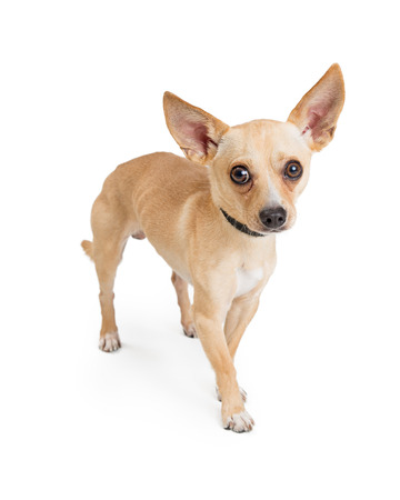 Photo pour Cute shy Chihuahua dog standing on white and looking at camera - image libre de droit
