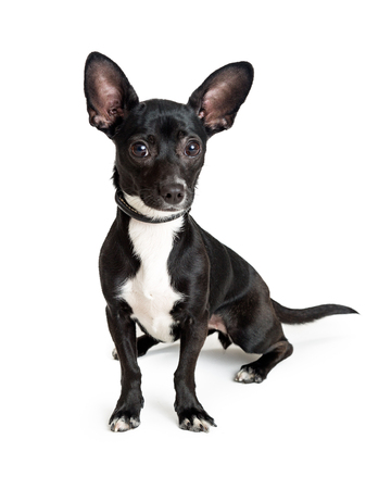 Foto de Cute small black color Chihuahua dog sitting on white background and looking into camera - Imagen libre de derechos