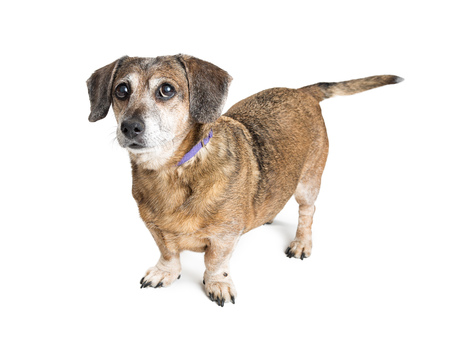 Photo pour Cute small crossbreed dog standing over white background - image libre de droit