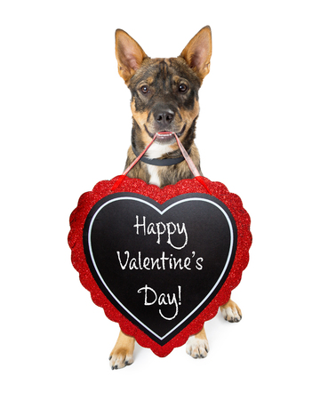 Photo for Cte Shepherd crossbreed dog carrying Happy Valentine's Day message on a heart-shaped chalkboard - Royalty Free Image