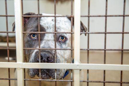 Photo for Sad large Pit Bull breed dog behind bars of a kennel at a rescue shelter - Royalty Free Image