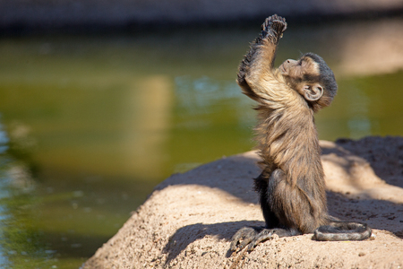 Foto de Cute young baby brown tufted Capuchin monkey looking up and raising his hands like he is begging or praying - Imagen libre de derechos
