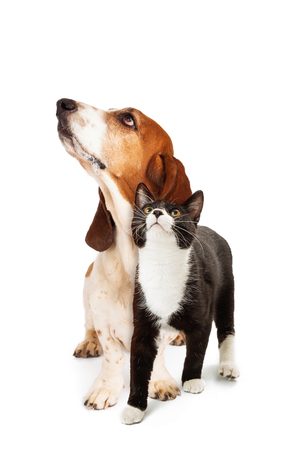 Photo pour Basset Hound Dog and tuxedo cat together over white, looking up - image libre de droit