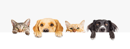 Photo pour Row of the tops of heads of cats and dogs with paws up, peeking over a blank white sign. Sized for web banner or social media cover - image libre de droit