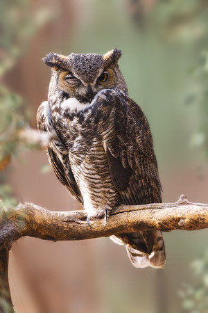 Photo for Great Horned Owl with one eye open, perched on a branch with blurred nature background - Royalty Free Image