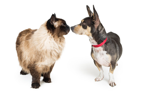 Photo for Funny photo of a Himalayan cat and Chihuahua crossbreed dog looking at each other and touching noses - Royalty Free Image