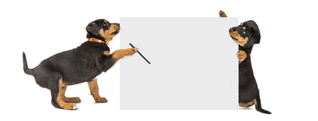 Photo pour Two cute Rottweiler puppies holding up a blank white sign to write a message - image libre de droit