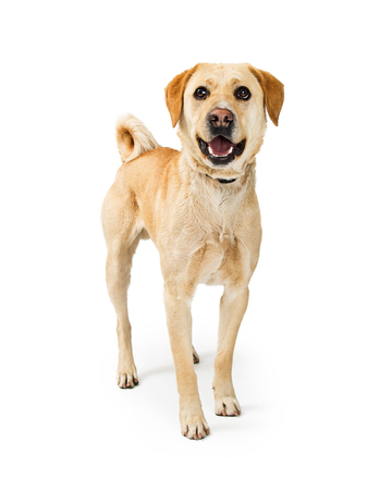 Photo pour Happy and smiling medium size Labrador Retriever crossbreed dog standing on a white background and looking at camera - image libre de droit