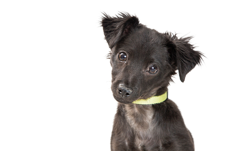 Photo pour Closeup photo of cute black mixed breed puppy dog looking at camera. Isolated on white with room for text. - image libre de droit