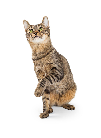 Photo for Young tabby cat sitting on white background lifting paw and looking up - Royalty Free Image