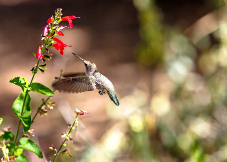 Photo for Ruby-throated hummingbird flying to a red wildflower with room for text in blurred background - Royalty Free Image
