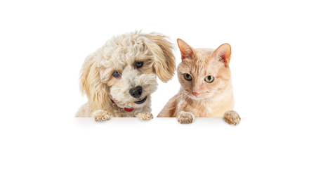 Foto de Cute small dog and orange cat hanging over and looking down at white banner with room for text - Imagen libre de derechos