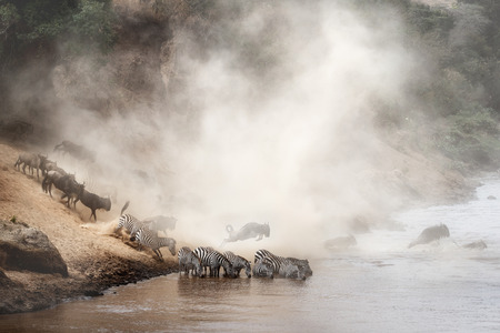 Photo pour Dramatic scene of wildebeest and zebra crossing over the Mara River in Kenya, Africa during migration season - image libre de droit