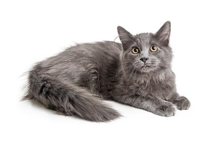 Photo pour Beautiful domestic longhair grey color cat lying down on white background - image libre de droit
