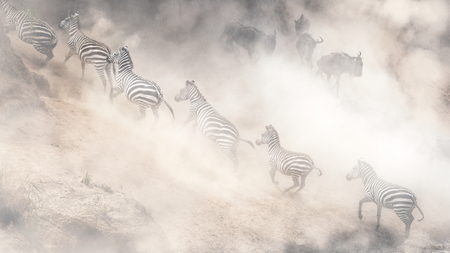 Photo pour Dramatic scene in Kenya Africa with Zebra running uphill and Wildebeest leaping downhill on the bank of the Mara River during migration season - image libre de droit