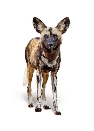 Foto de African painted wild dog standing facing forward looking at camera. Isolated on white background. - Imagen libre de derechos