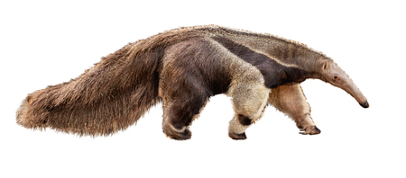 Photo pour Anteater zoo animal walking facing side. Extracted photo isolated on white background. - image libre de droit
