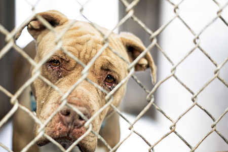 Foto de Closeup of face of sad old pit bull dog with crusty infecteed eyes looking out fence at animal shelter - Imagen libre de derechos