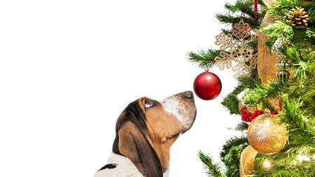 Photo pour Closeup Basset Hound dog looking at decorated Christmas tree ornament - image libre de droit
