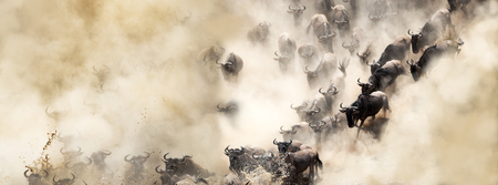 Foto de African wildebeest great migration crossing over the Mara River in dusty dramatic scene - Imagen libre de derechos